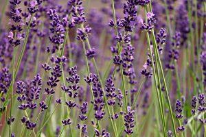Lavendel-Heilkräuter-Yoni Spa Köln-Kräuter Yoni Steaming-Kräuterdampfbad-Frauenheilkräuter